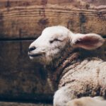 Lammet – fra Moses til Messias